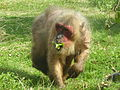 Macaca arctoides -Monkey World, Dorset, England -eating-8a.jpg