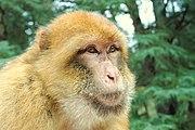 Macaque berbère (Magot)