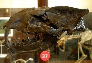 Saber-toothed cat - Image: Machaeroides eothen
