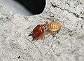 Macro Termite Soldier (cropped).jpg