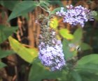 Datei:Macroglossum.stellatarum.video.ogv
