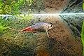 Macropodus opercularis aquarium mk.jpg