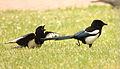 Magpie in Madrid (Spain) 99.jpg