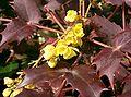 Mahonia japonica5.jpg