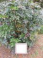 Mahonia japonica - Villa Vittoria (Mongiana) - Province of Vibo Valentia, Italy - 26 Oct. 2008.jpg