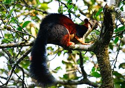 Malabar giant squirrel by N A Nazeer.jpg
