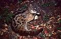 Malagasy Civet (Fossa fossana) (30505489647).jpg