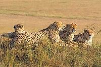 Een groep mannelijke cheeta's