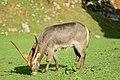 Male Kobus ellipsiprymnus at Cabacerno.jpg