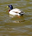 Mallard Duck on JCB lakes - geograph.org.uk - 397021.jpg
