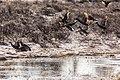 Mallards take flight from Swan Lake Flats (7d0fa761-afe9-4e5a-a437-43956c81c020).jpg