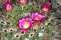 Mammillaria mystax pm 1.JPG