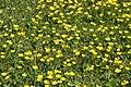 Mani ziedi My flowers - panoramio (55).jpg