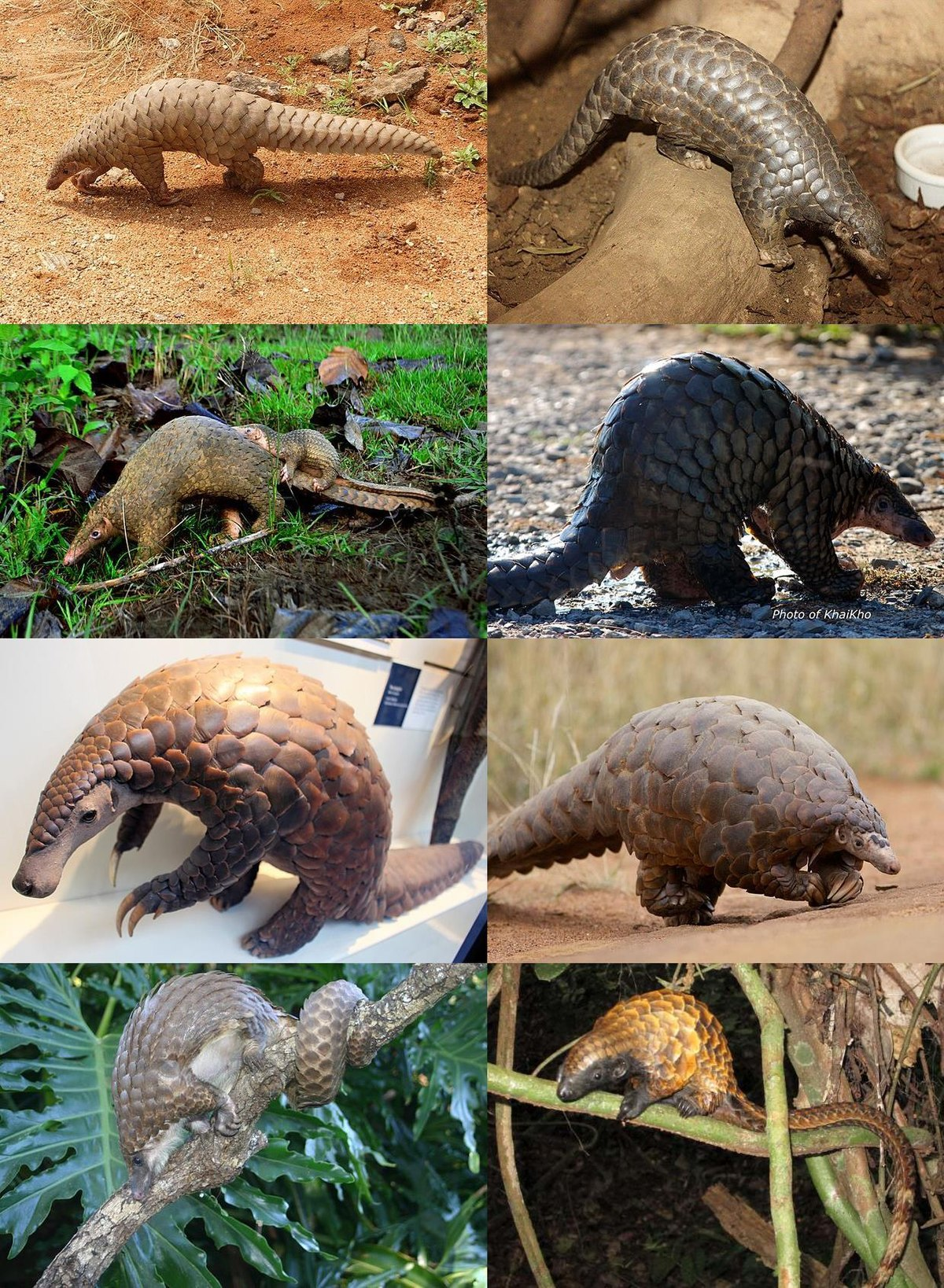 Pangolin - Wikipedia