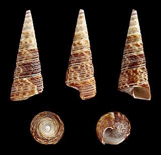 <i>Maoricolpus</i> genus of molluscs