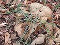 Marah macrocarpa root 2004-02-23.jpg