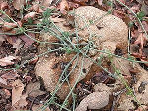 Marah (plant) - Cucamonga manroot (Marah macrocarpus) root