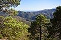 Maritime Pine, Sierra de las Nieves DSC 0299.jpg
