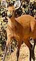 Marsh Deer (Blastocerus dichotomus) doe on the road ... (31676439305).jpg