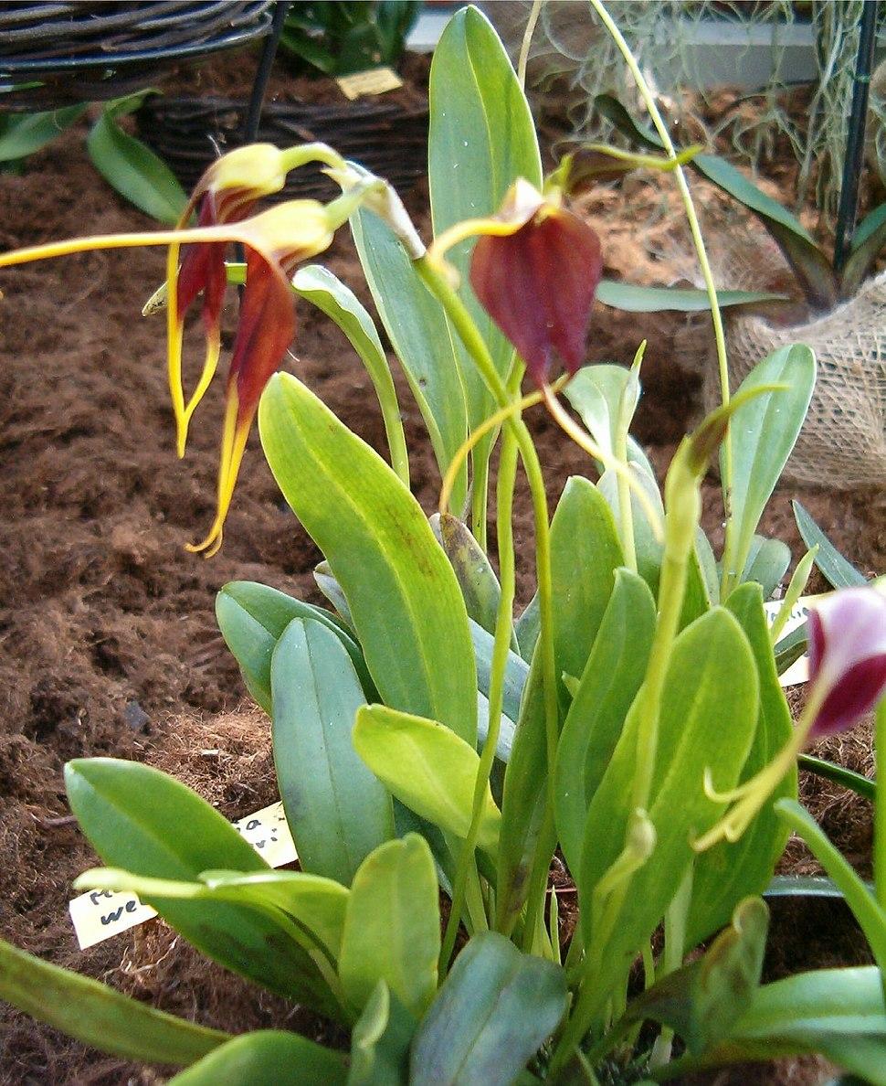 Masdevallia weberbaueri OrchidsBln0906