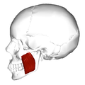Masseter muscle - lateral view - deep part.png