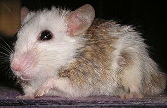 Mastomys - African soft-furred rat (Mastomys coucha)