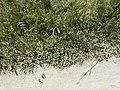Matricaria chamomilla plant (15).jpg