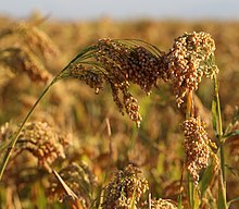 Mature Proso Millet Panicles.jpg