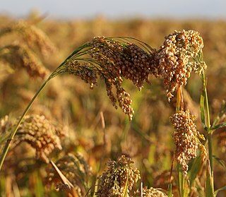 Proso millet Species of plant