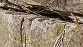 Mauereidechse-wall-lizard-podarcis-muralis.jpg