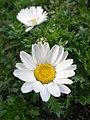 Mauranthemum paludosum382659198.jpg