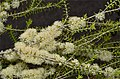 Melaleuca acutifolia.jpg