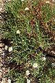 Melampodium leucanthum kz4.jpg