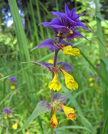 Melampyrum nemorosum photo.jpg
