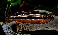 Melanochromis auratus (female)