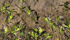 240px melopsittacus undulatus flock 4