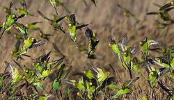 Un groupe de perruches ondulées, en vol, en Australie.