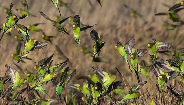 Melopsittacus undulatus flock 4.jpg