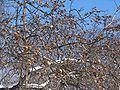 Mespilus germanica arbo.jpg