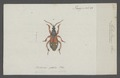 Metastemma - Print - Iconographia Zoologica - Special Collections University of Amsterdam - UBAINV0274 041 03 0004.tif