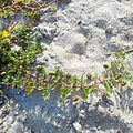 Miami Beach - Sand Dunes Flora - Green Creeping Thorny Plant.jpg