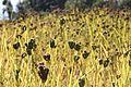 Millet in Charikot.JPG