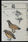 Ming herbal (painting); Pigeons Wellcome L0039453.jpg