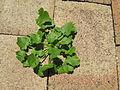 Modiola caroliniana plant8 (15746099944).jpg