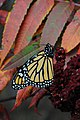 Monarch on fall sumac (36485715632).jpg