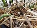 Moorhen Nest 08-05-12 (7160416802).jpg