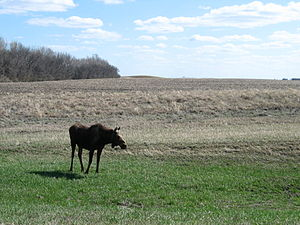 North Dakota - Moose in North Dakota