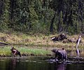 Moose Mom and Babies (15794336087).jpg