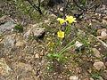 Moraea ochroleuca Du Toits Kloof (22).jpg