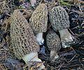 Morchella tomentosa 338564.jpg